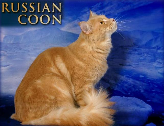"Питомник Мейн Кунов ""RUSSIANCOON"""