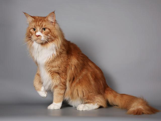рыжий кот мейн кун