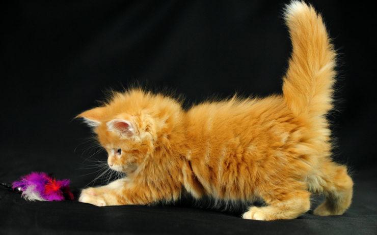 котята мейн кун рыжие