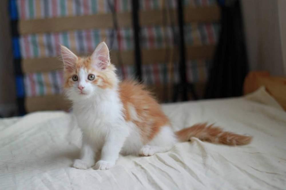 мейн кун фото рыжий котенок