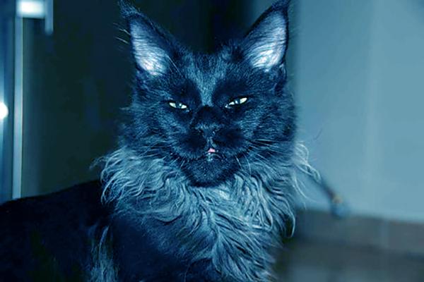 кот мейн кун голубой солид