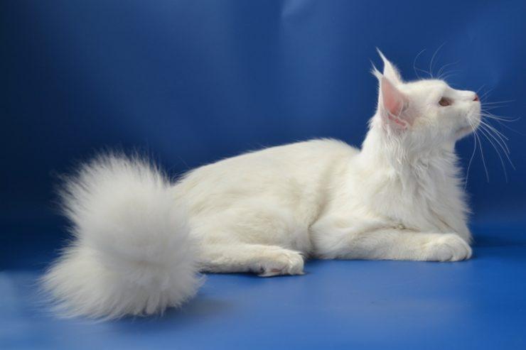 мейн кун котенок белый фото