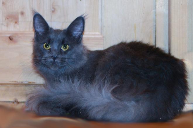 кошка мейн кун голубой солид