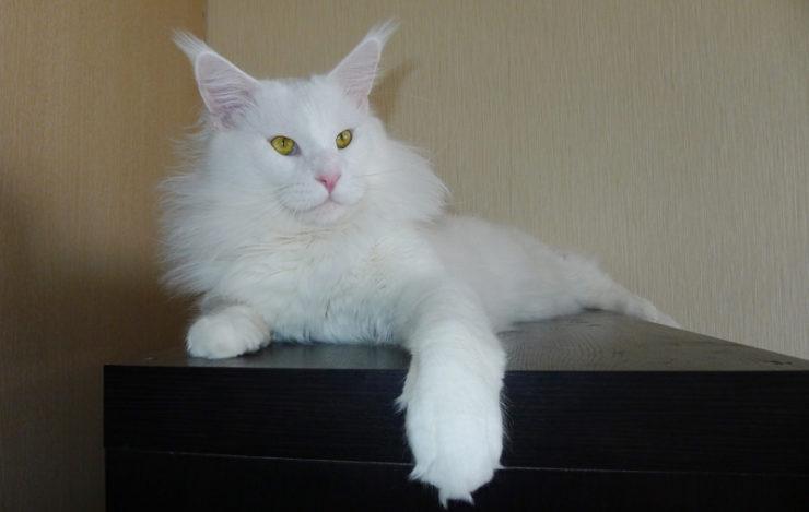 кот мейн кун белый фото