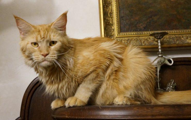 коты мейн кун рыжие фото