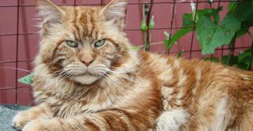 в каком возрасте кастрировать кота мейн куна