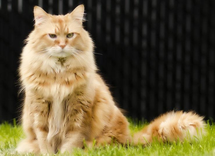 мейн кун кошки рыжие