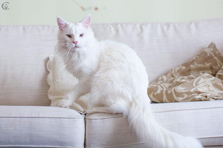 мейн кун белый кот