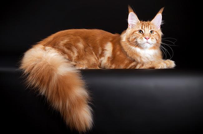 рыжие котята мейн кун фото
