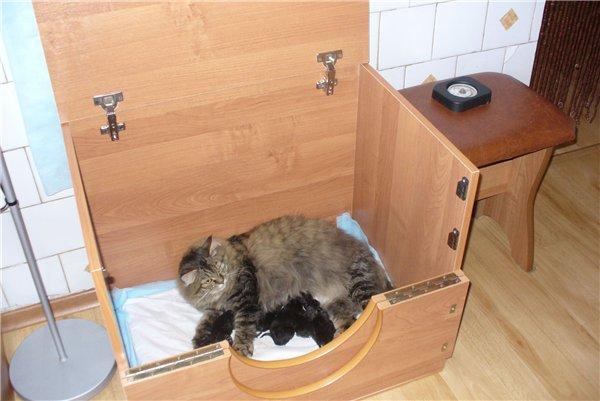 Место для родов кошки Мейн Куна
