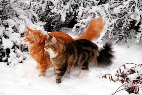 2 вредных мифа о вязке кошек Мейн Кун
