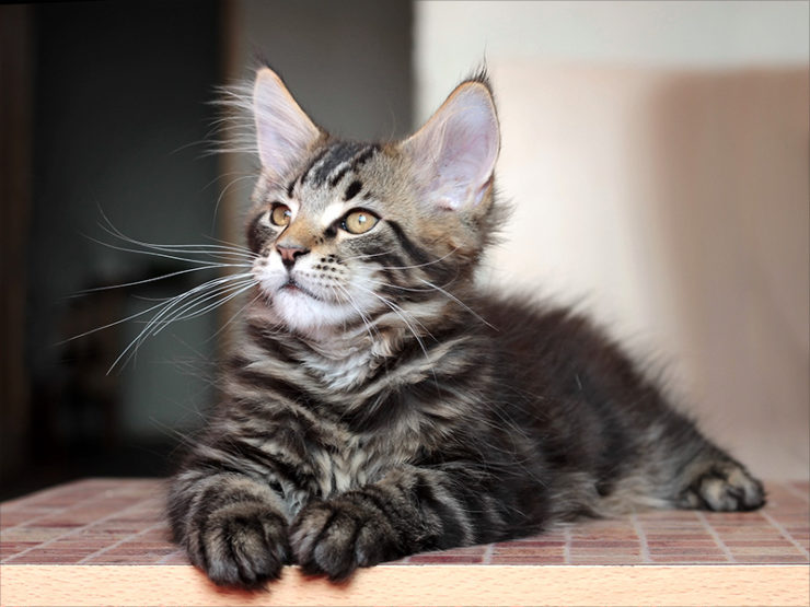 Прививки для котят мейн кун