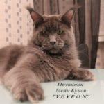 Питомник «VEYRON»