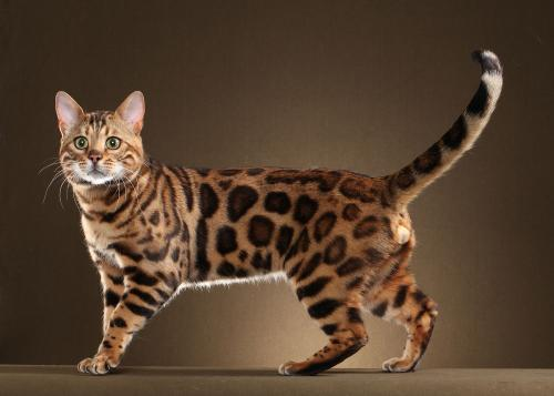 Бенгальская кошка: как победить «дикий» ген?