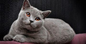Британские кошки, какие они?