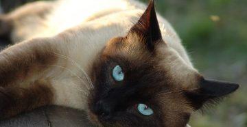 Характер сиамских кошек – особенности поведения