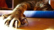 Хирургическое удаление когтей у кошек