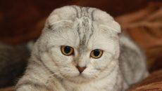 Кошки породы вислоухие Шотландцы