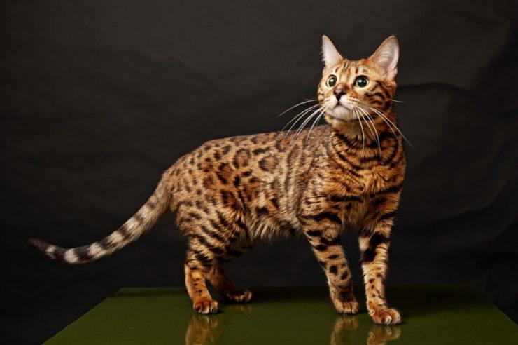 Особенности бенгальских кошек