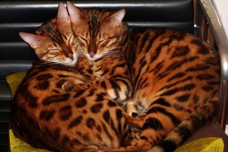 взаимоотношения кота и кошки
